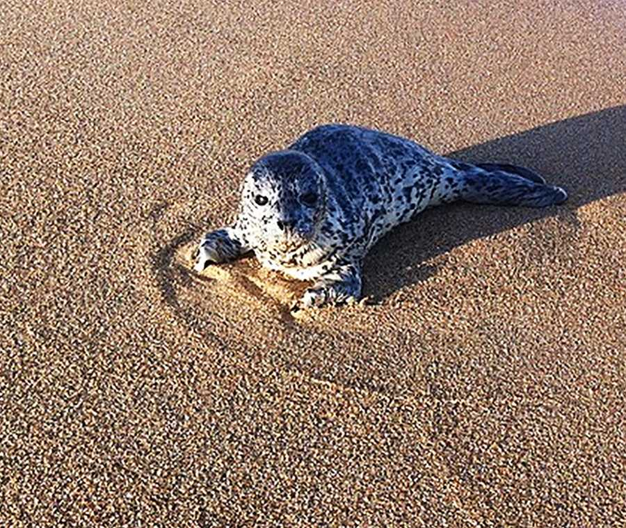 A harbor seal pup looks adorable in Moss Landing.