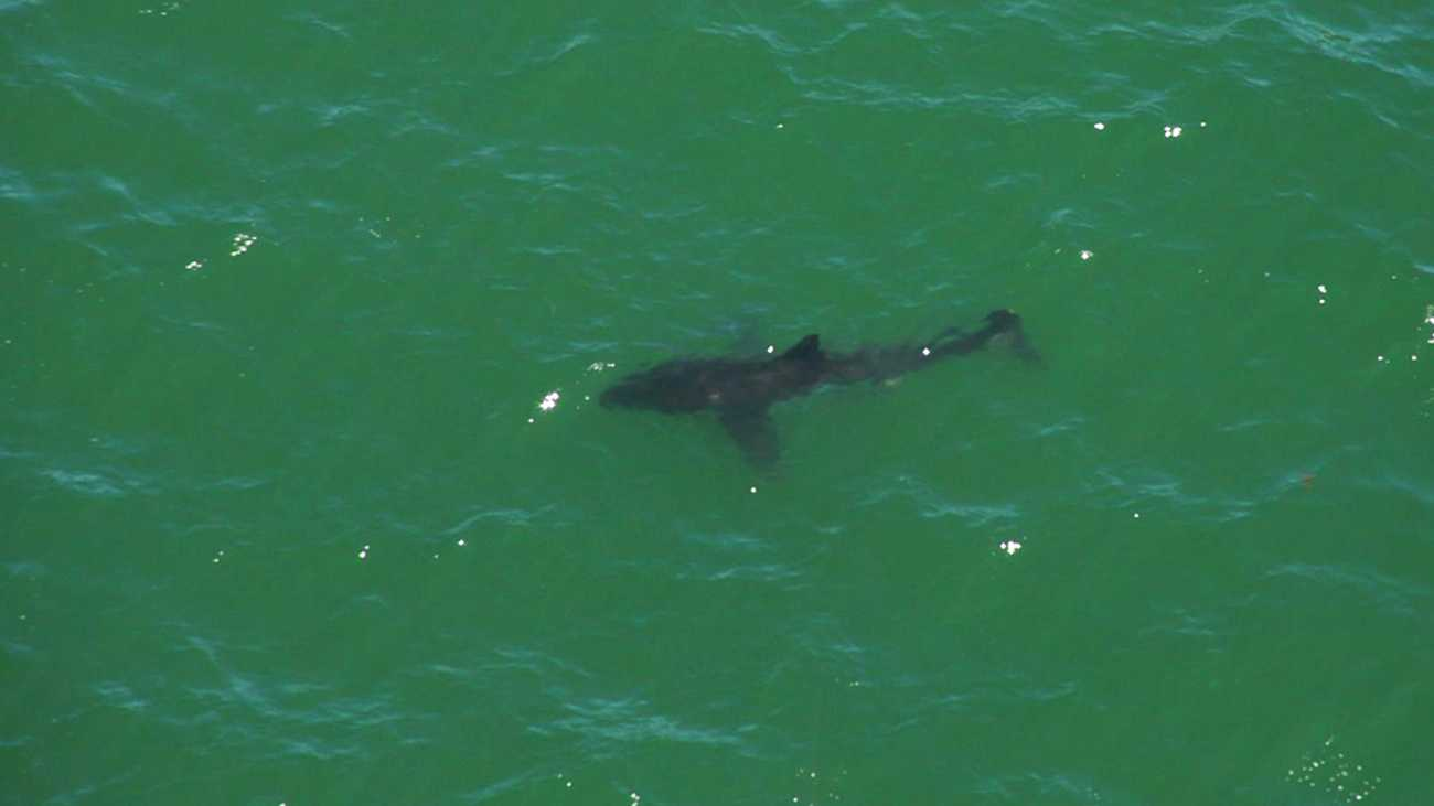 Jeremy Matthews photographed this great white shark swimming off Seascape Beach in Aptos while he was in a helicopter. (July 19, 2012)