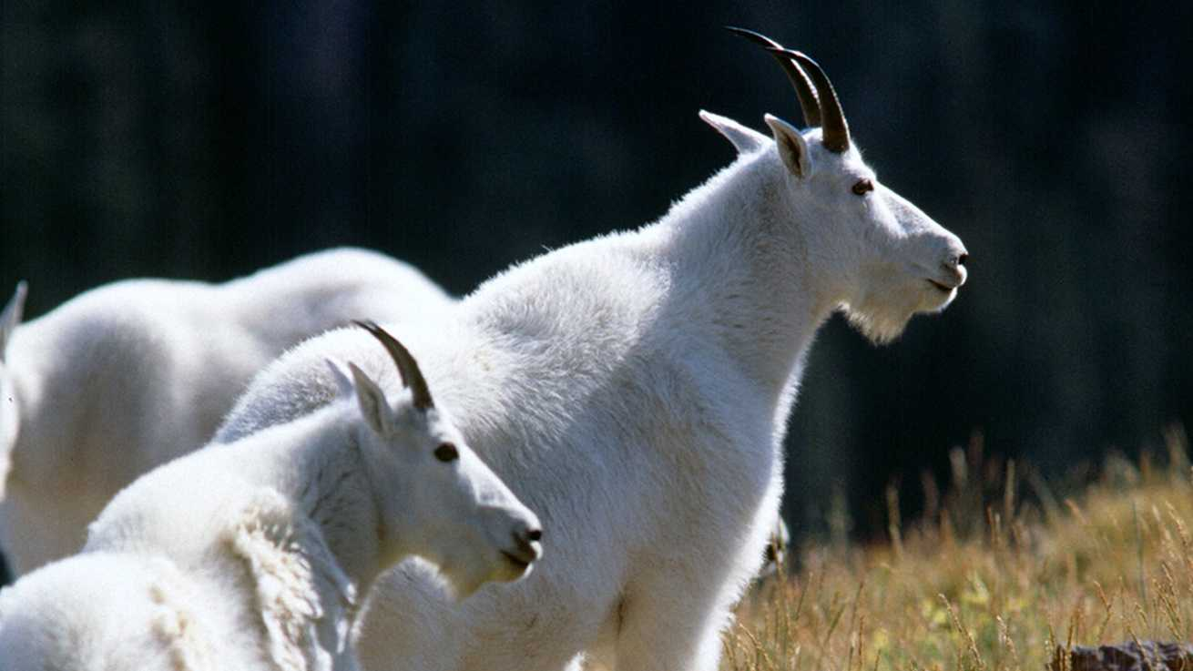 Utah mountain goats