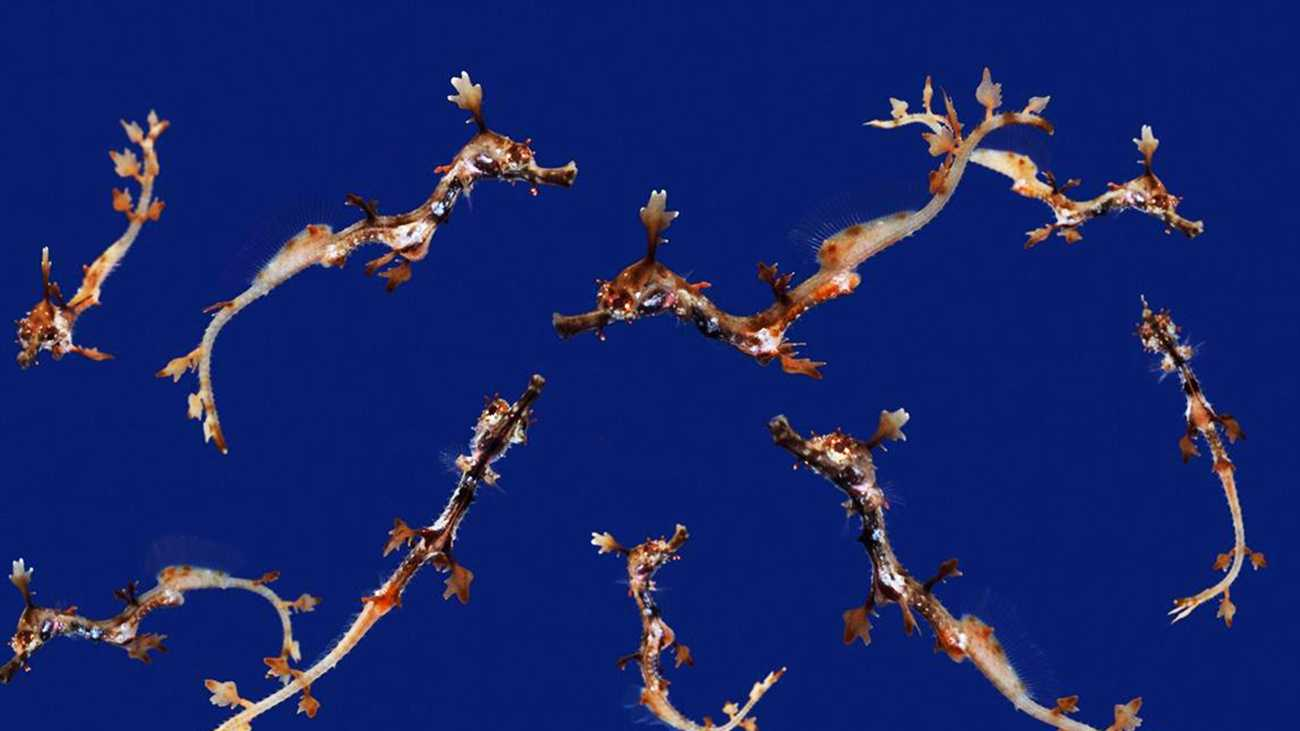 Baby sea dragons are seen at the Monterey Bay Aquarium.