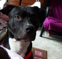 This adorable pit bull owned by Joseph Martis is namedBentley. He lives and sleeps with two tinyChihuahuas.