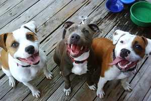 Kathryn Blandin owns these happy pit bulls.