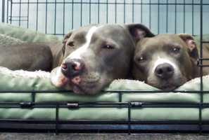"""""""These are our two rescued pit bulls Barbie and Willow,"""" saidKendra Adelson, of Scotts Valley.""""They are the official shop dogs of Ben Lifted 4 Wheel Drive & Hitch. They great every customer with wagging tails and kisses.""""""""Both Barbie and Willow love kids, love to cuddle and are just true sweethearts that know that they have been rescued,""""Adelson said."""