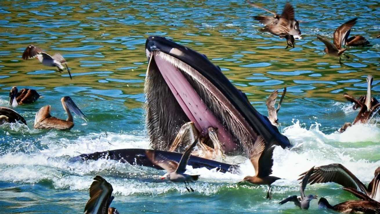 A humpback whale lets a pelican go who awkwardly ended up in its mouth off the coast of San Luis Obispo.