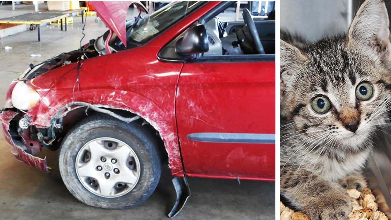 This minivan was mangled by pit bulls while a kitten, right, hid inside the fender.