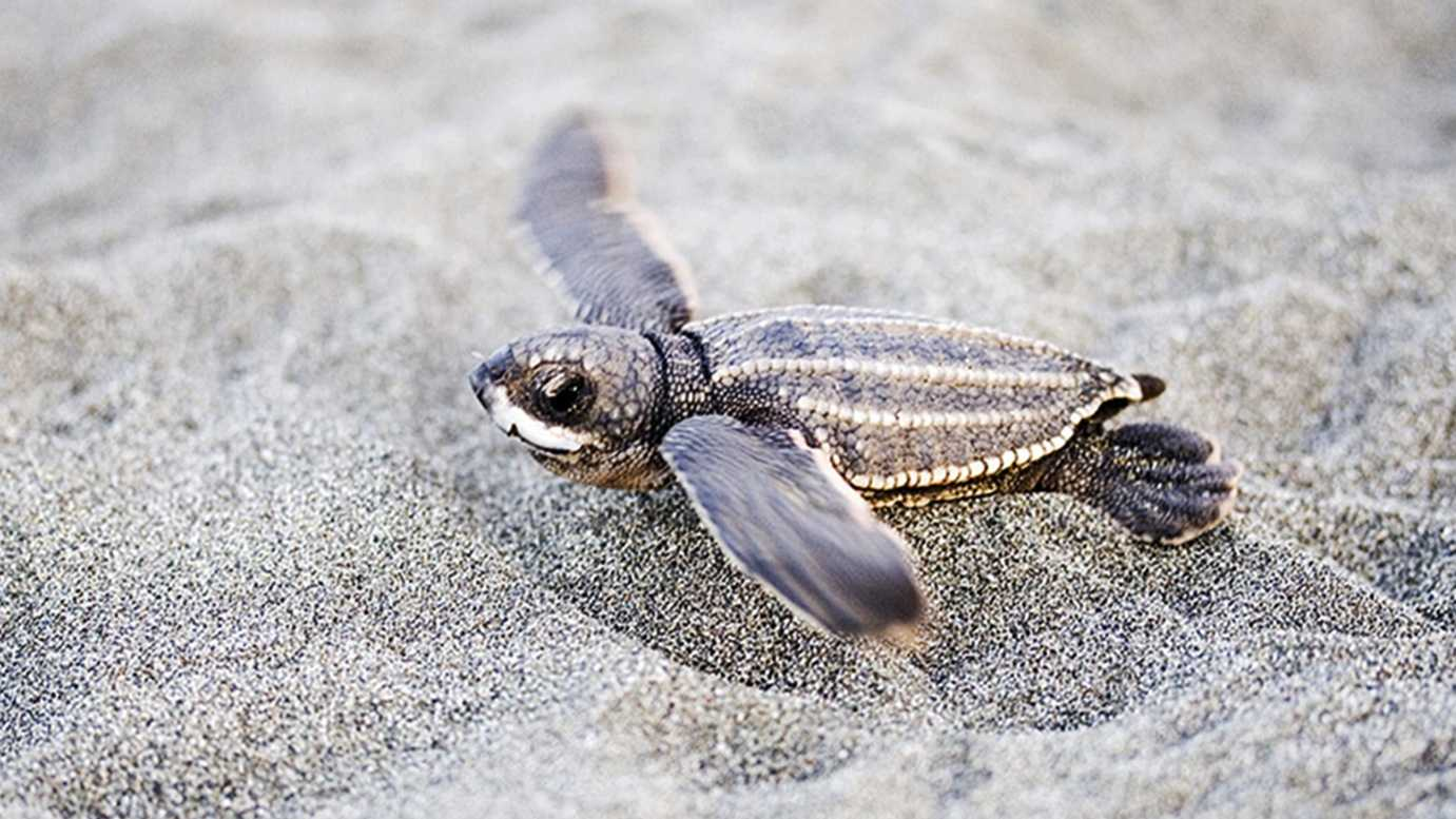 A baby leatherback sea turtle is seen.