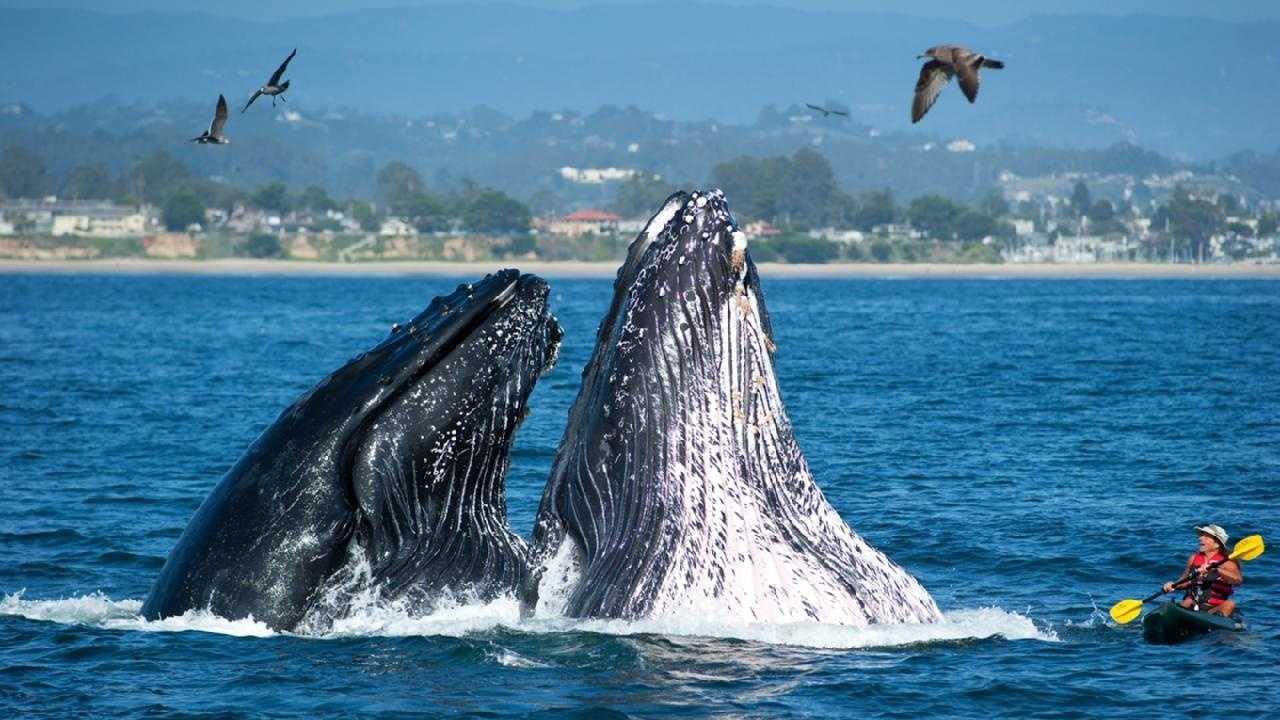 Humpbacks breaching off the coast of Santa Cruz are seen. (Oct. 2011)