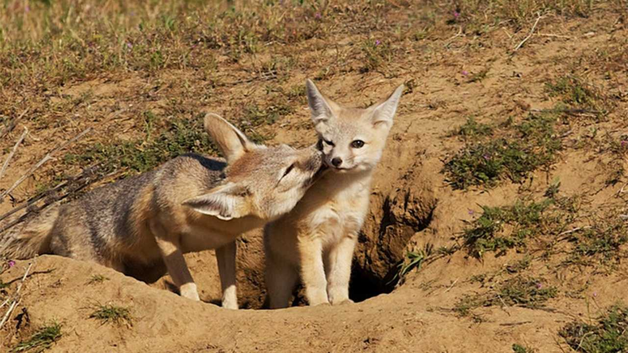 A mother kit fox cleans here pup.