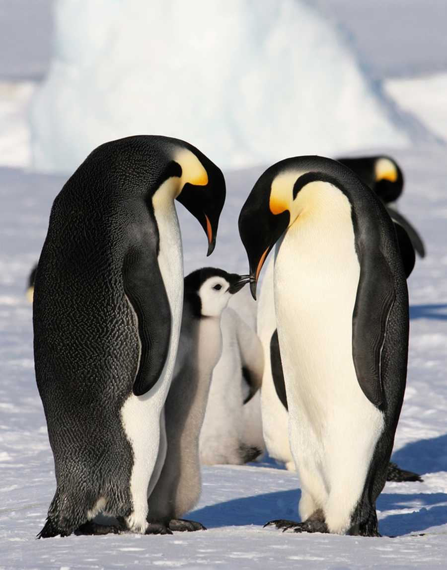 These are real Emperor Penguins, which live inAntarctica.
