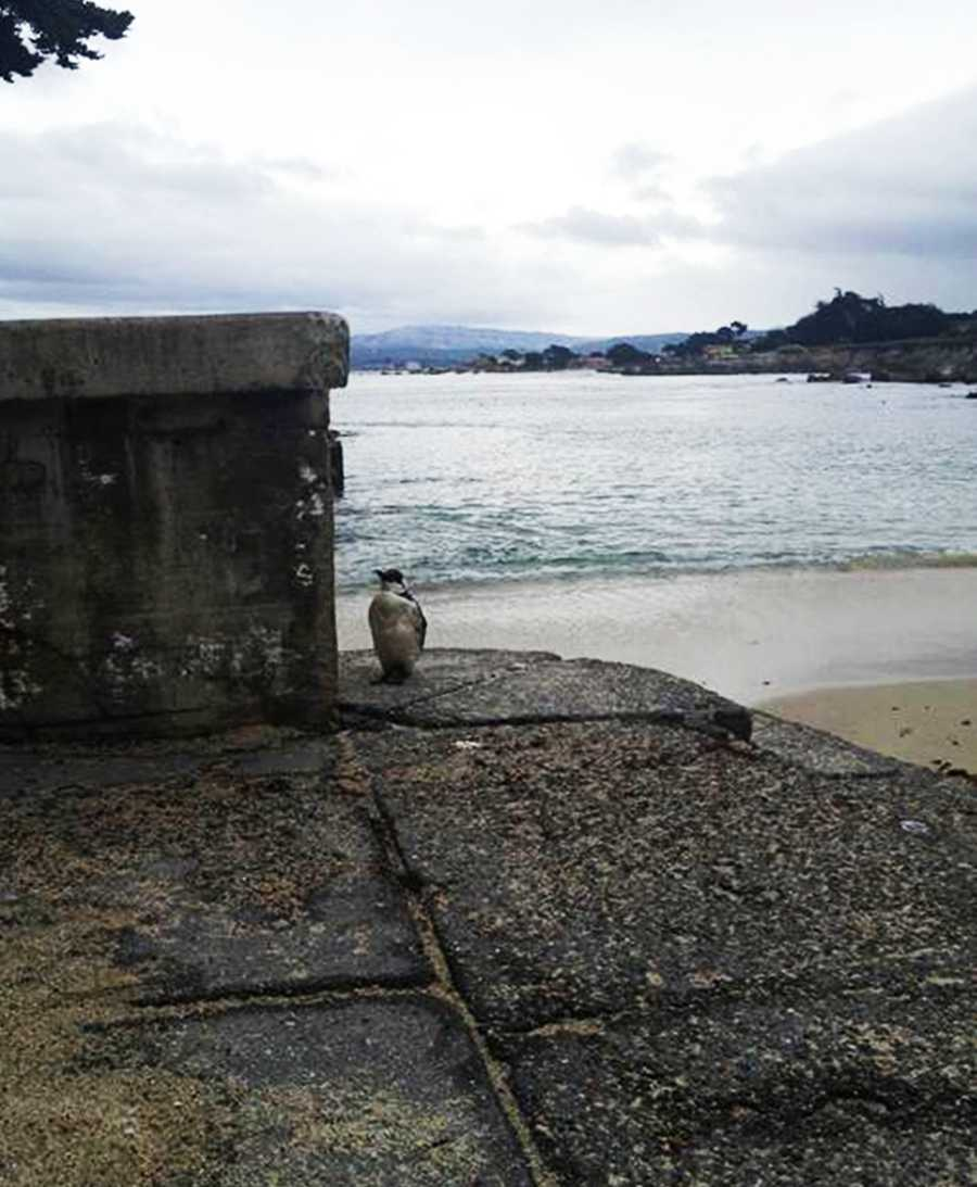 Sonya Chang snapped photos of the cute black and white sea bird while it was hanging out on the Lovers Point pier.