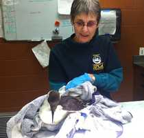 An Monterey County SPCA wildlife rescuer bundles up the common murre after it was rescued from Lovers Point in Pacific Grove on Thursday.