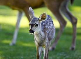 #8: Real life BambiRalphXM photographed this cute fawn in Pacific Grove during the summer.