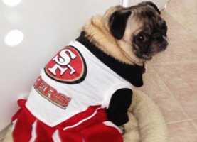 Sofia the pug sports her 49ers gear.