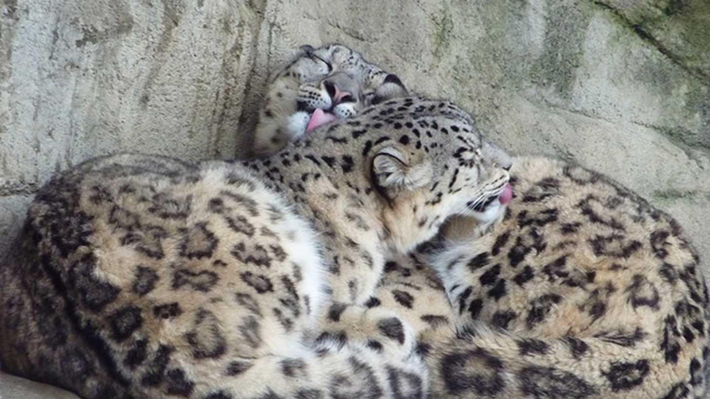 snow leopard feb8.jpg