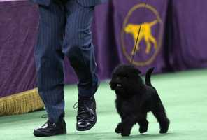 The 5-year-old Affenpinscher's full name is Banana Joe V Tani Kazari, but his handlers just call him Joe.