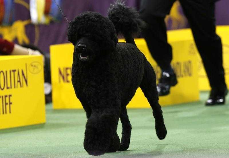 Matisse, a Portuguese Water dog, runs with a handler during competition in the Working Group at the 137th Westminster Kennel Club Dog Show at Madison Square Garden in New York, February 12, 2013. Matisse won the Working Group and advanced to the Best in Show competition.