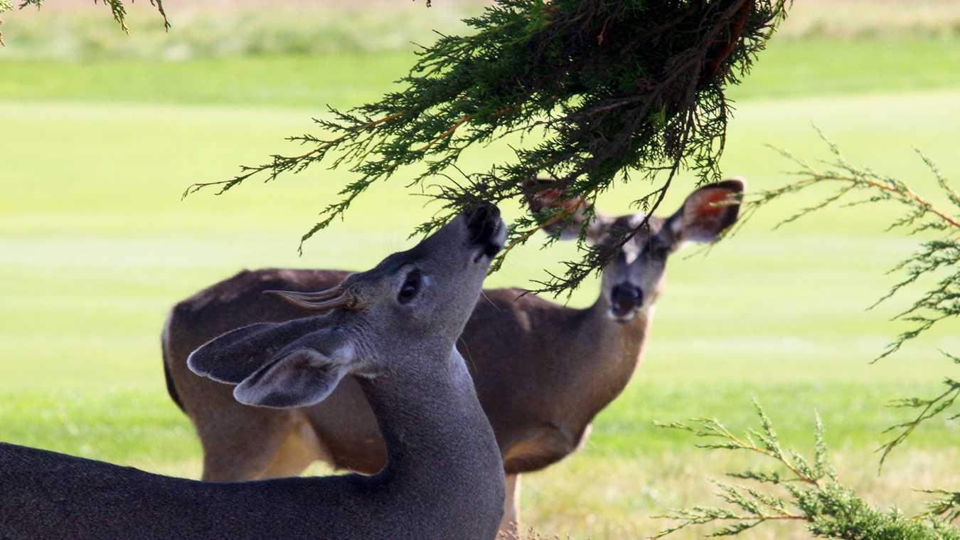 Deer graze in Carmel.