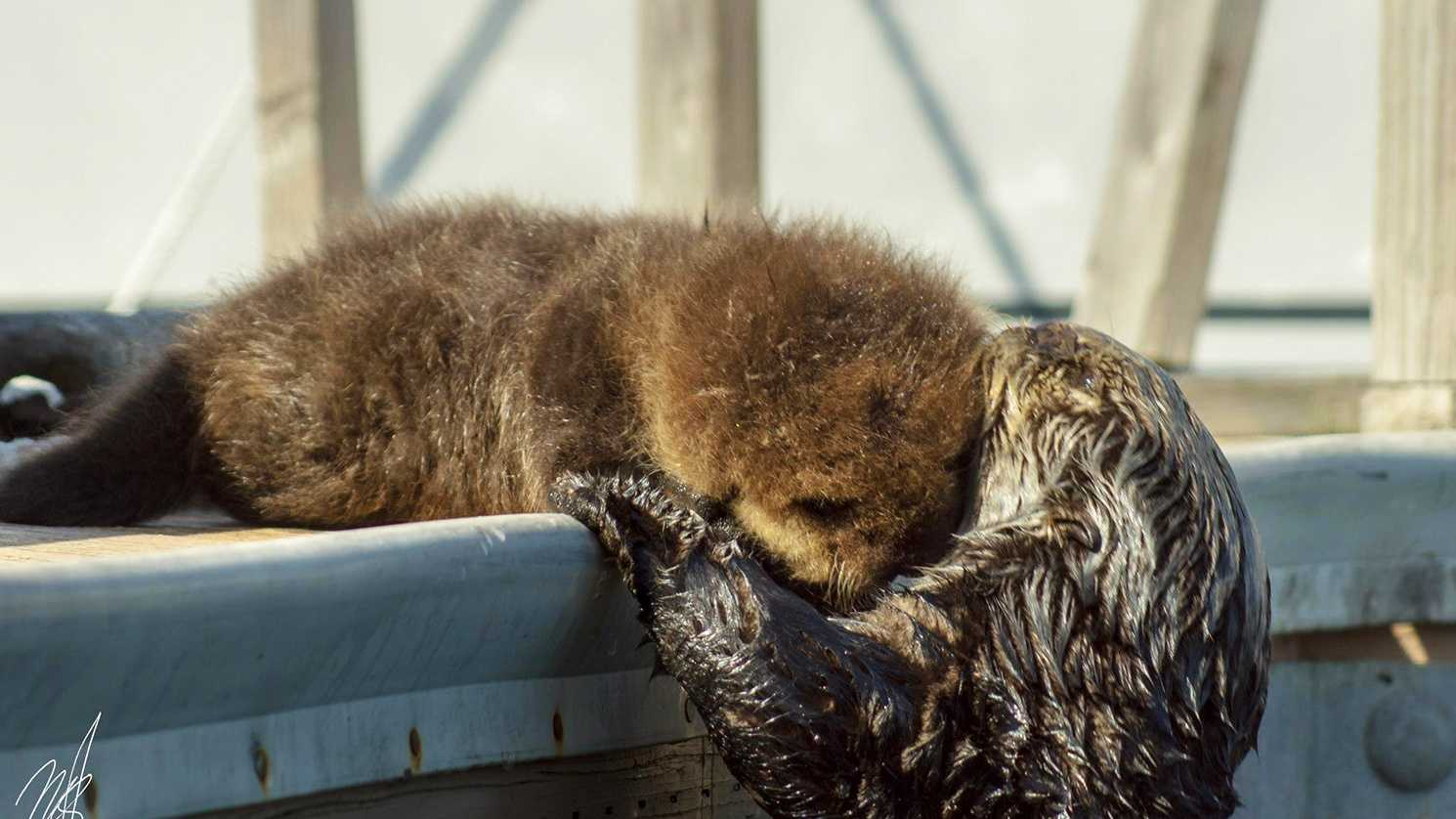 A sea otter takes care of her 3-week-old pup in Monterey. (Photo by Sand Spit Photography / Miguel Santiago)