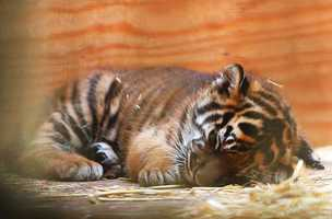 Here the tiger cub is seen sleeping when it was just 5 weeks old.
