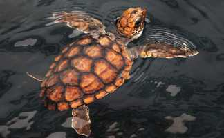 Loggerhead sea turtles are endangered and this baby turtle will eventually be released back into the wild near the North Carolina beach it was rescued.