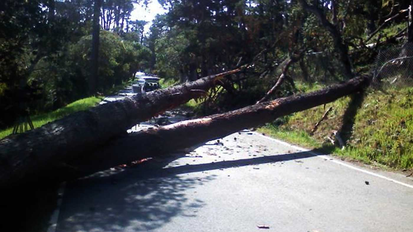 Wind gusts toppled this tree in Monterey Monday. (April 8, 2013)