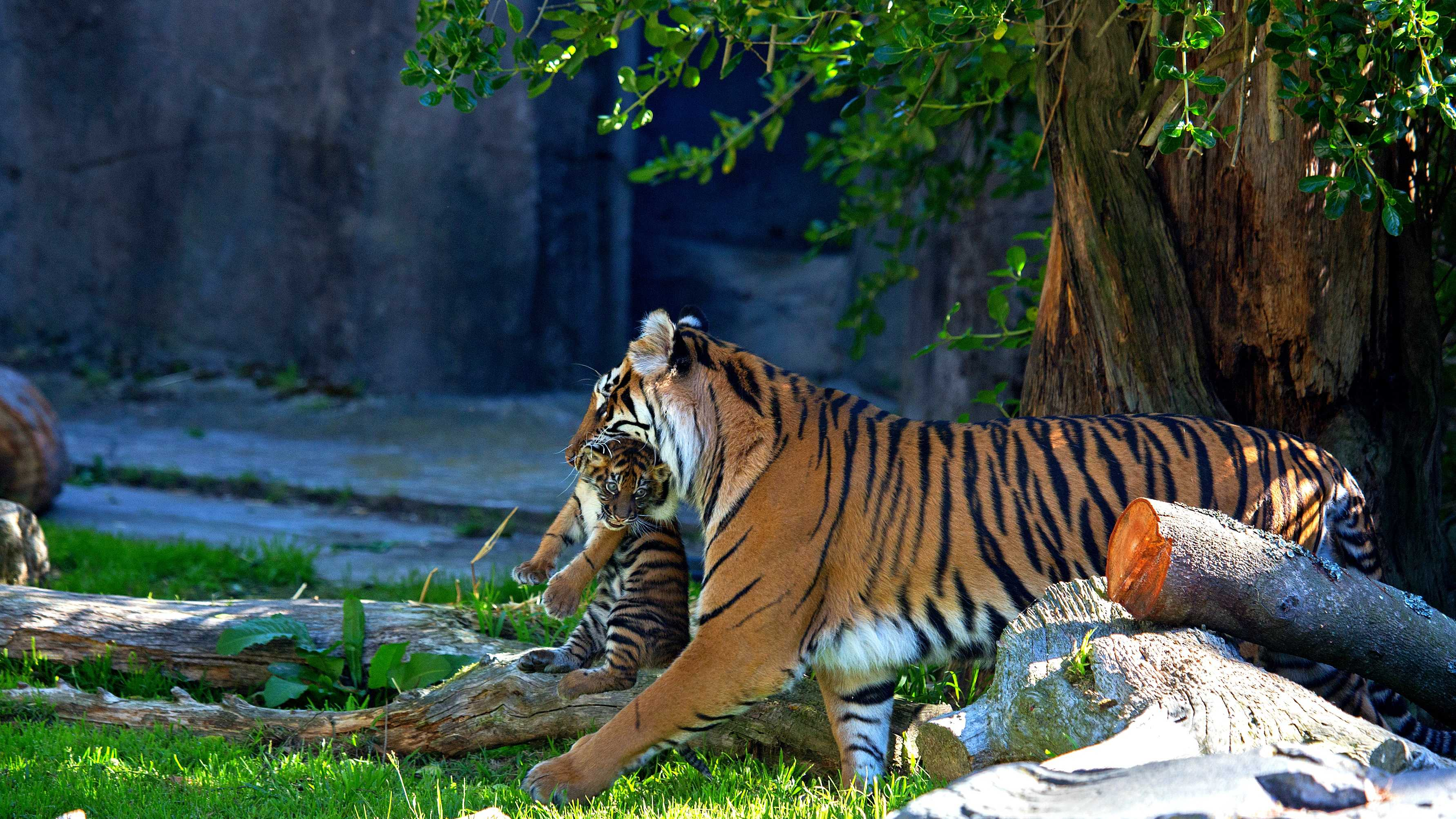 From the island of Sumatra, off the Malaysian Peninsula, these terrestrial and nocturnal cats inhabit evergreen, swamp and tropical rain forests as well as grasslands. As the smallest of the remaining subspecies of Panthera tigris, the Sumatran tiger is particularly well suited for life in the deep jungle. The fur on the upper parts of its body ranges from orange to reddish-brown, making it darker in color than other tigers. This helps it to hide within its heavily wooded forest habitat. Also unique to this subspecies are distinctly long whiskers, which serve as sensors in the dark, dense underbrush.