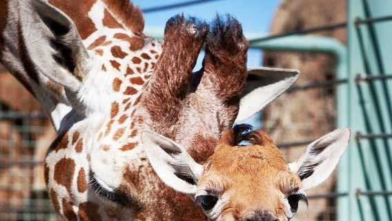 This baby giraffe was born in San Francisco on May 29, 2013.