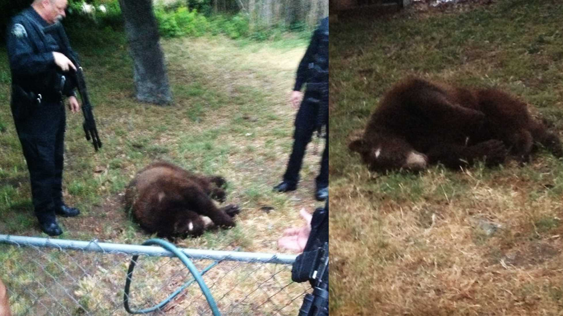 Jake Kelley took photos of the black bear after it was killed by Seaside police on June 3, 2013.