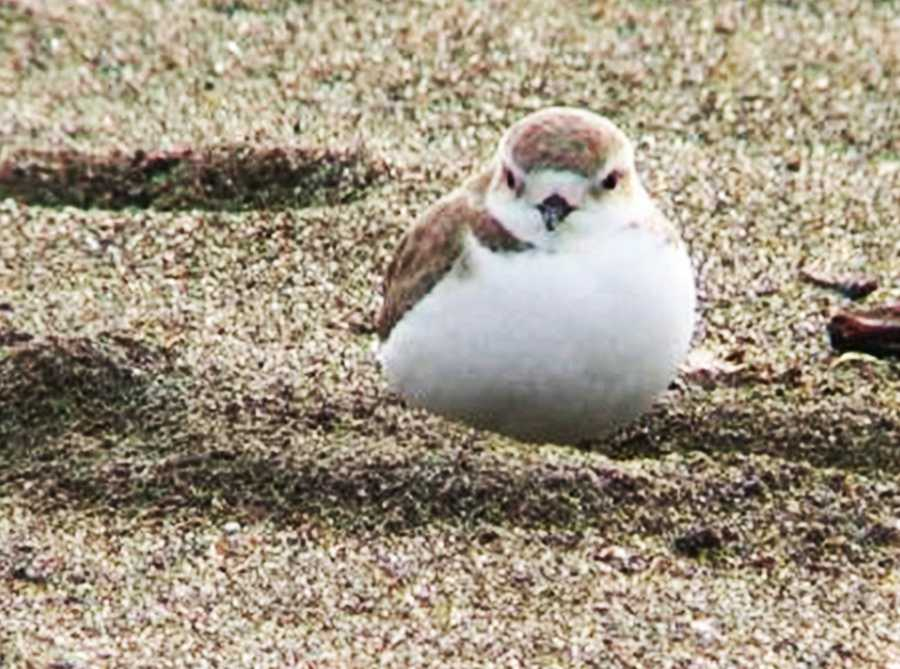 The Pacific Coast population of the Western Snowy Plover is federally listed as threatened under the Endangered Species Act.