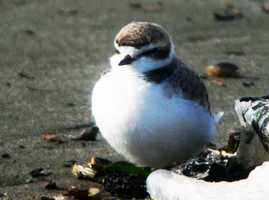 On August 8, 2013, biologists from Point Blue Conservation Science and the Monterey Bay Aquarium will release three captive-reared Western Snowy Plovers at Moss Landing State Beach.The three birds represent an opportunity to increase the population of this threatened bird species.