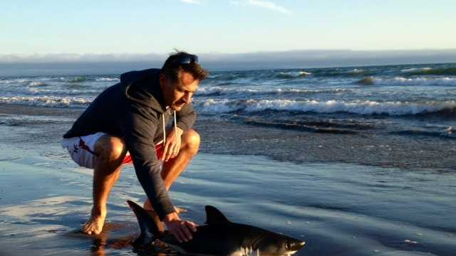 A couple finds a shark struggling in the surf at an Aptos beach and returns it to the ocean.