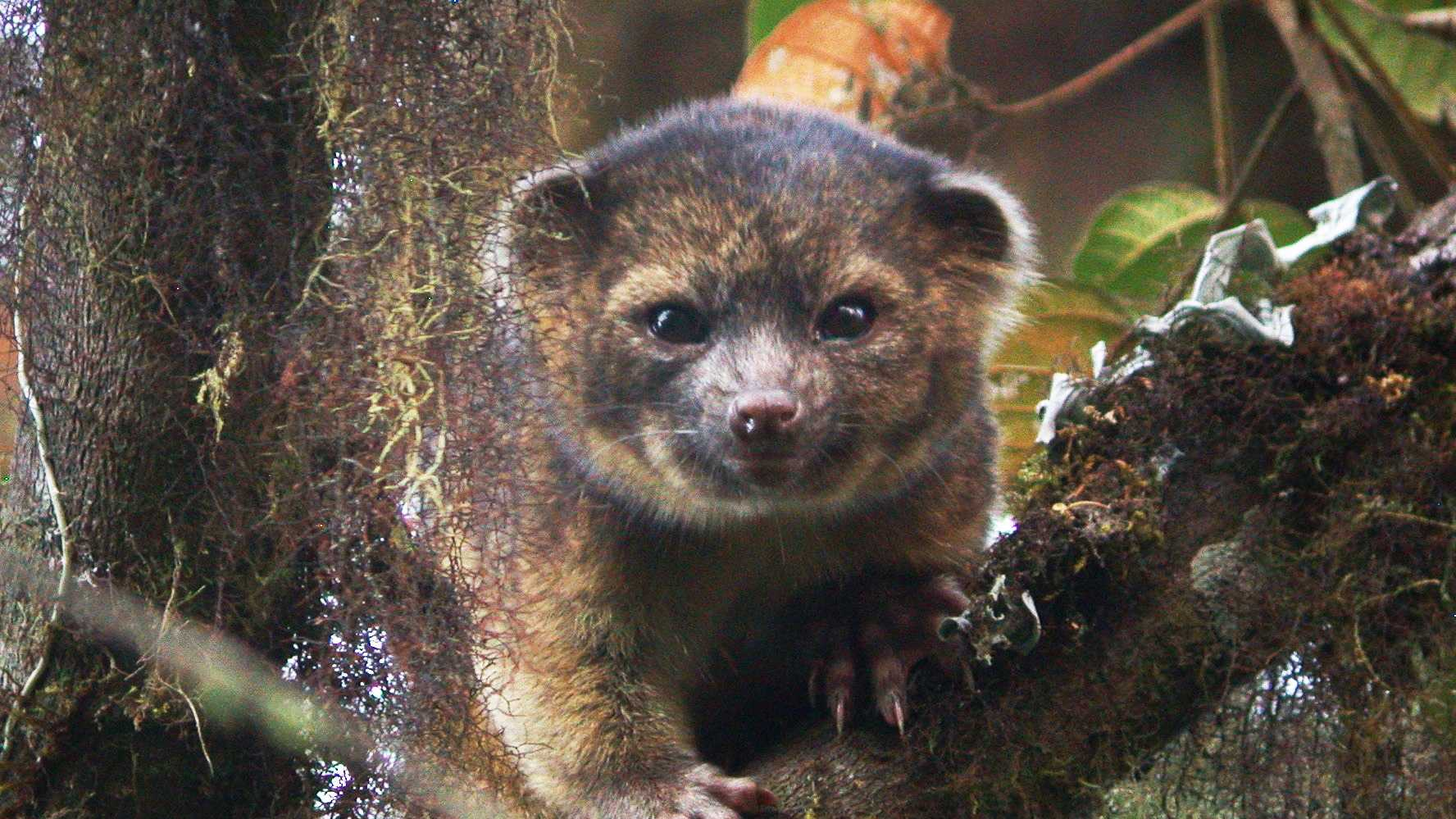 It's an olinguito!