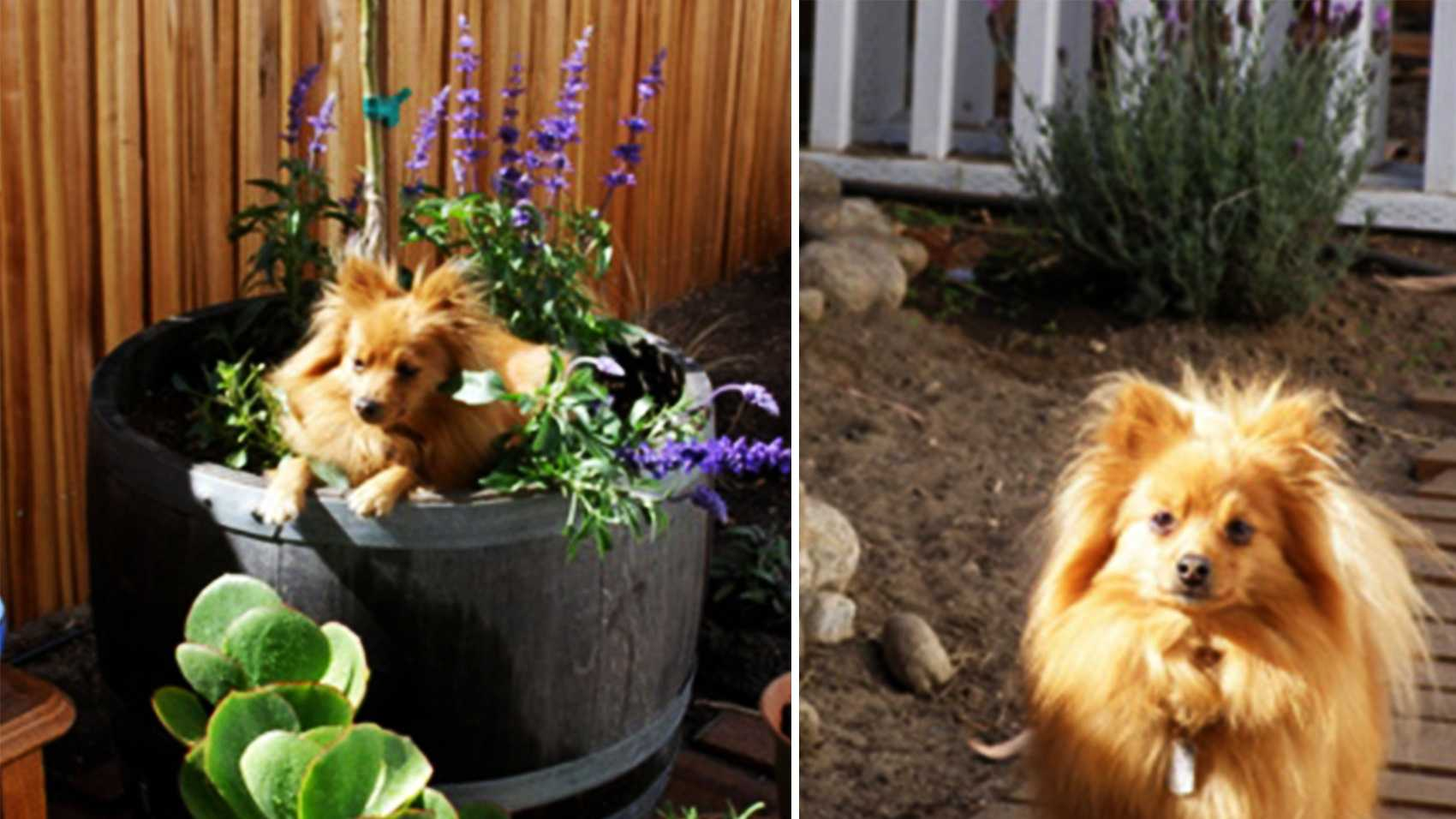 Chester the Pomeranian was shot to death in Carmel Valley.