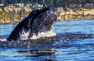 John Hunter shot photographs of humpback whales going wild while feeding near the Capitola Wharf. John F. Hunter Photography
