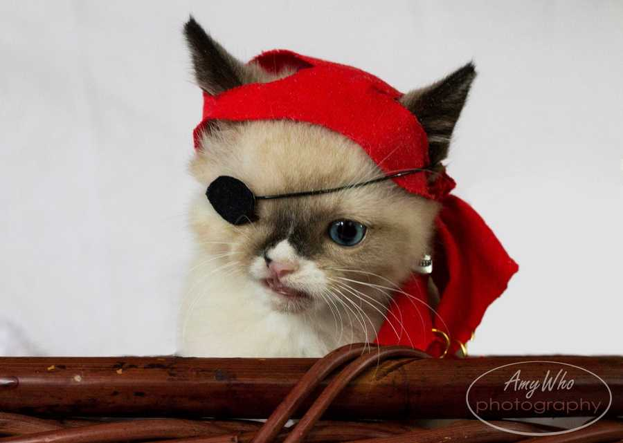 One day, Schaffer said her roommate dressed up the kitten in a hat and an eye patch to make him look like a pirate. A photo posted online of the buccaneer kitten exploded with popularity. The roommates have since made prints and posted them for sale. The proceeds go toward the animal shelter to pay to treat all animals. Schaffer said the response has been overwhelming.