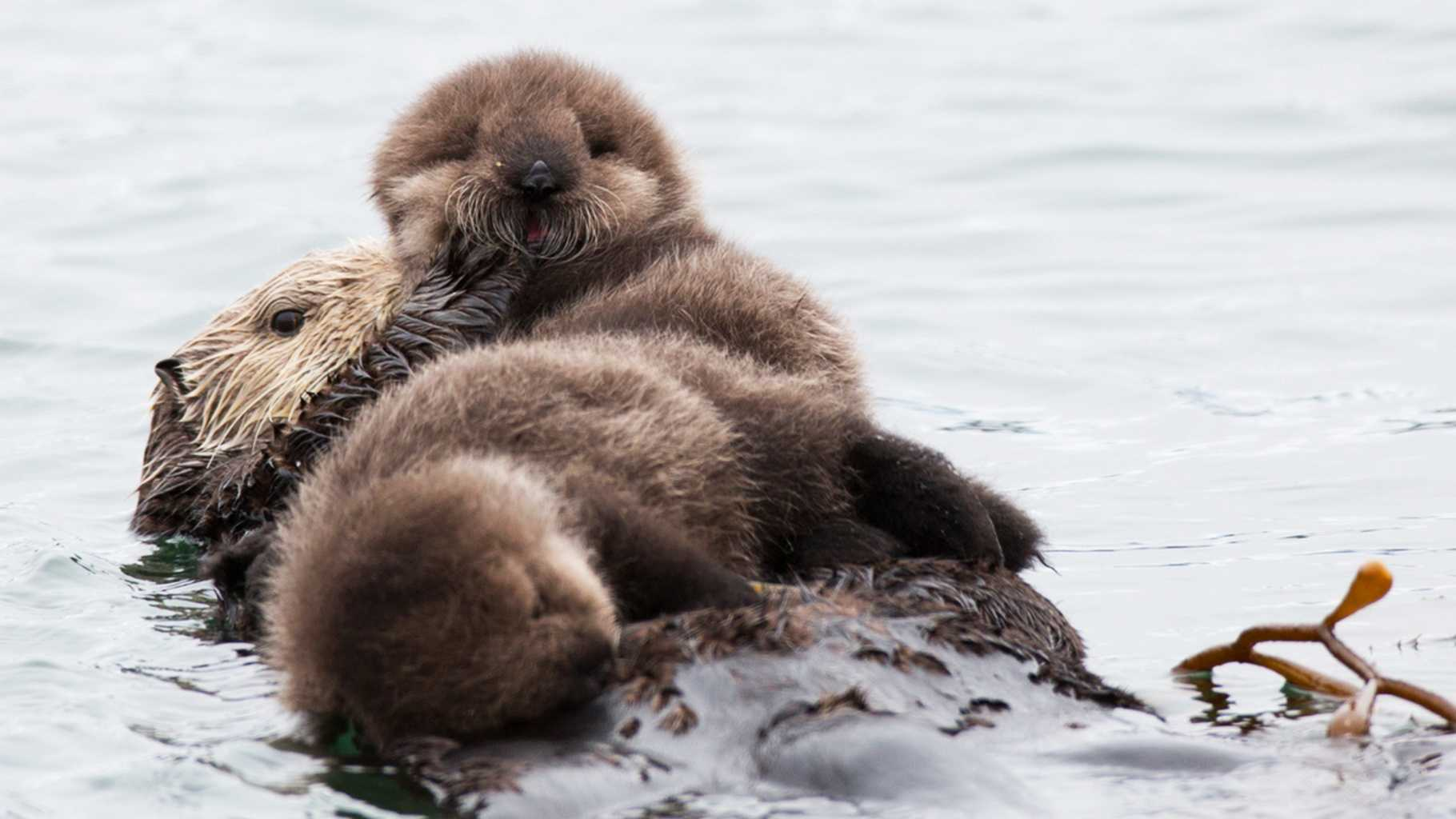 Twin sea otter pups are rare.