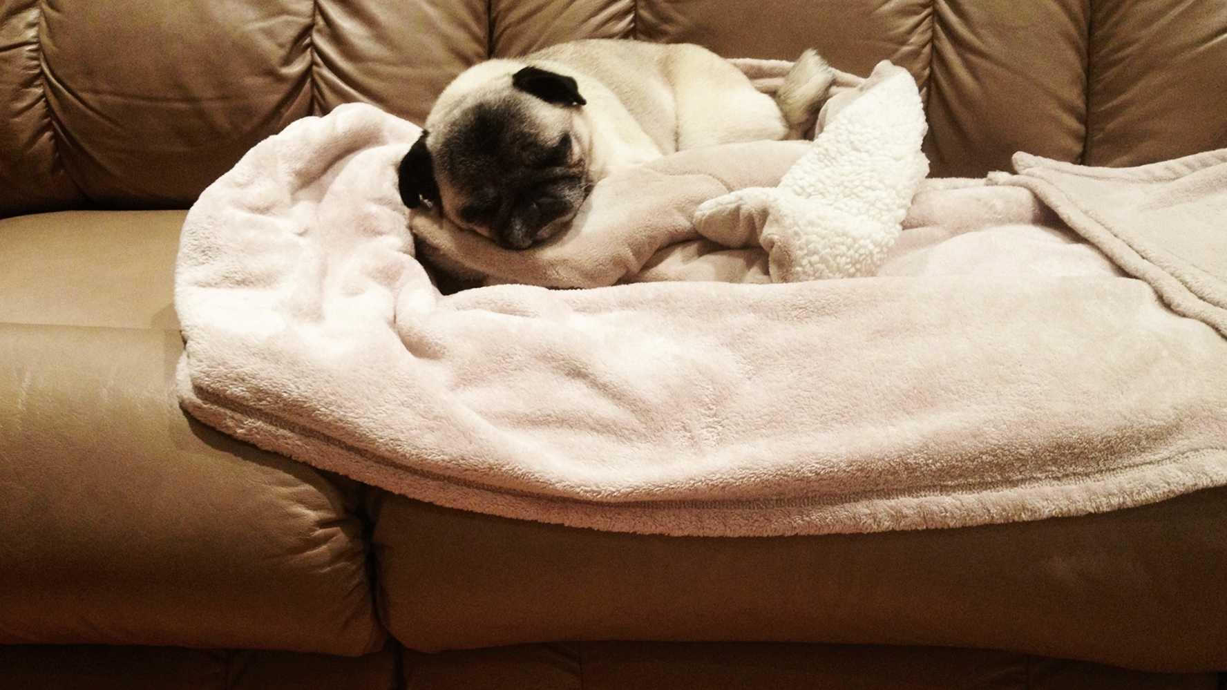 pug sleep