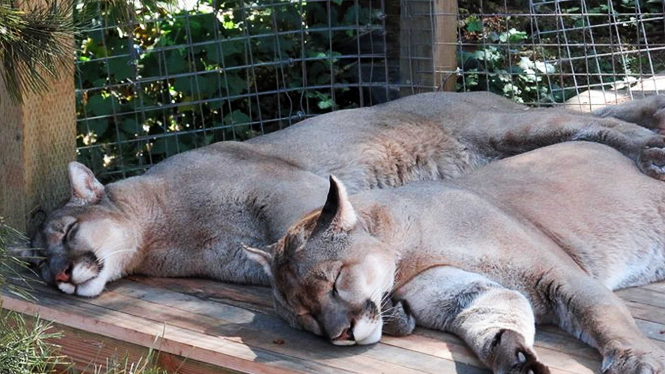 Two mountain lions sleep at Wild Cat Haven.