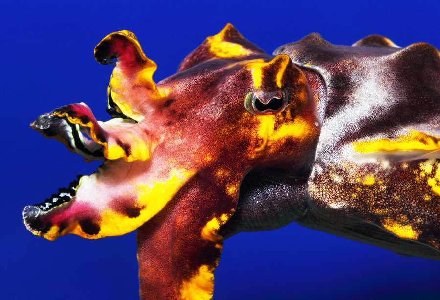Visitors will have a chance to see a variety of species including the Giant Pacific Octopus, Hawaiian Bobtail Squid and Flamboyant cuttlefish.