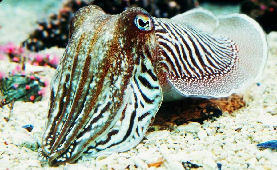 This is a Pharoah cuttlefish.