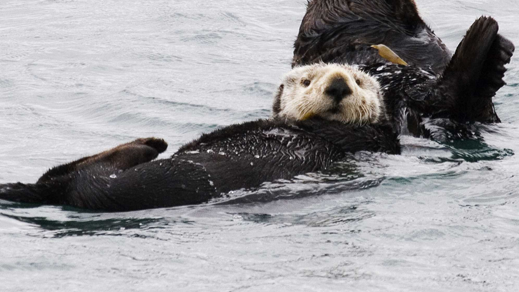 Sea otter