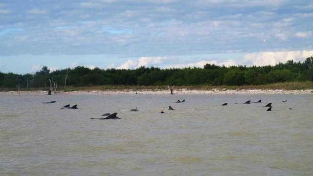 Whales stranded in shallow water at Everglades National Park are seen.