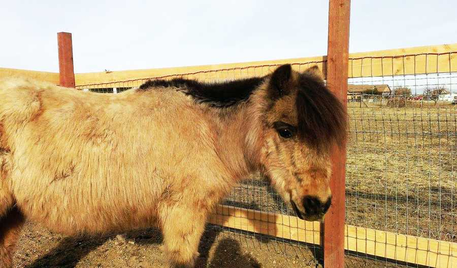 """When Hailee woke up Christmas morning and found Captain waiting for her outside, she threw her arms around the pony, hugged him, and sat with him for hours.""""It brought tears to everyone's eyes,"""" Westrick said. """"Captain will be a part of our family, along with our other horses, chickens, rabbits, dogs, cats and birds. My cowgirl and Captain will live happily ever after."""""""