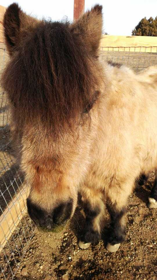 """""""A little over a month ago, our officers found Captain the pony. He was abandoned and near-death from starvation. Since that day, he was cared for at the Dreamor Ranch in San Juan Bautista,"""" the police chief said."""