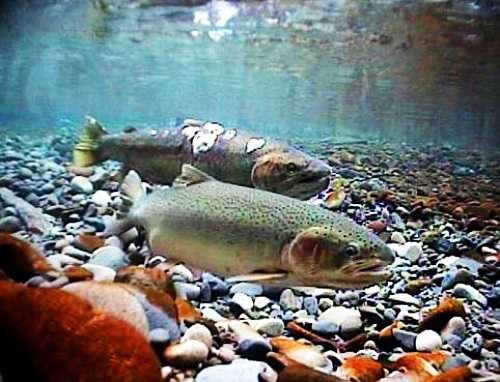 Fishing banned in santa cruz carmel big sur rivers for Fish pedicures illegal in 14 states