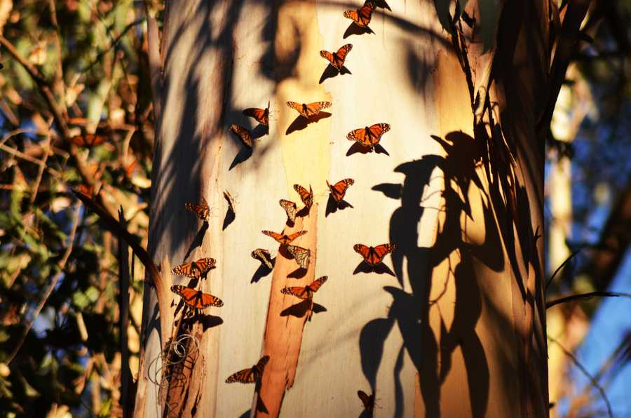 Photographer Debbie Jones shot images of butterflies fluttering around Natural Bridges State Park in Santa Cruz in January 2014.
