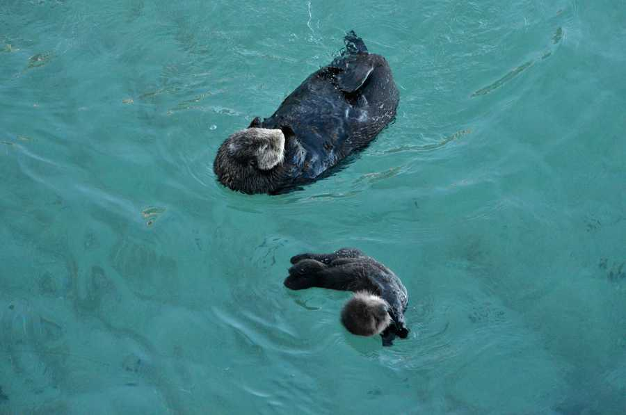 A sea otter mother enjoys a calm spot of ocean in the Monterey Bay with her pup.