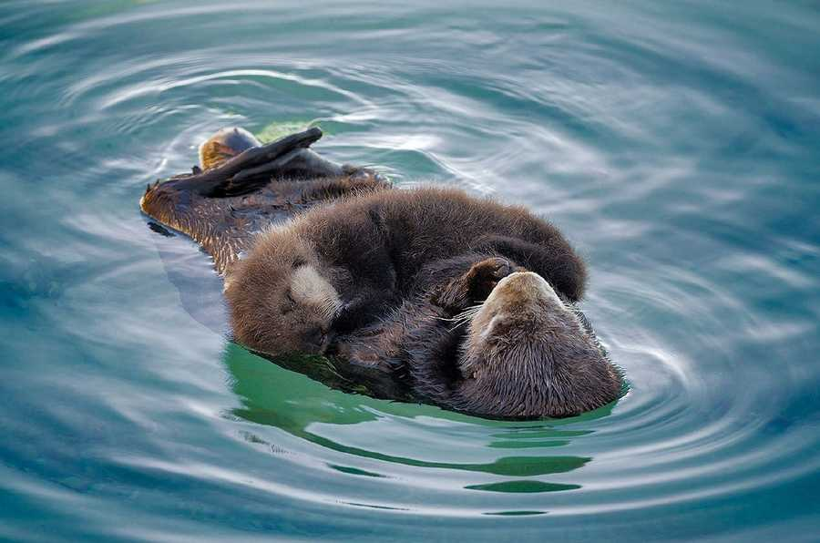 A wild sea otter swam into the Monterey Bay Aquarium's outdoor tide pool and relaxed with her new pup.