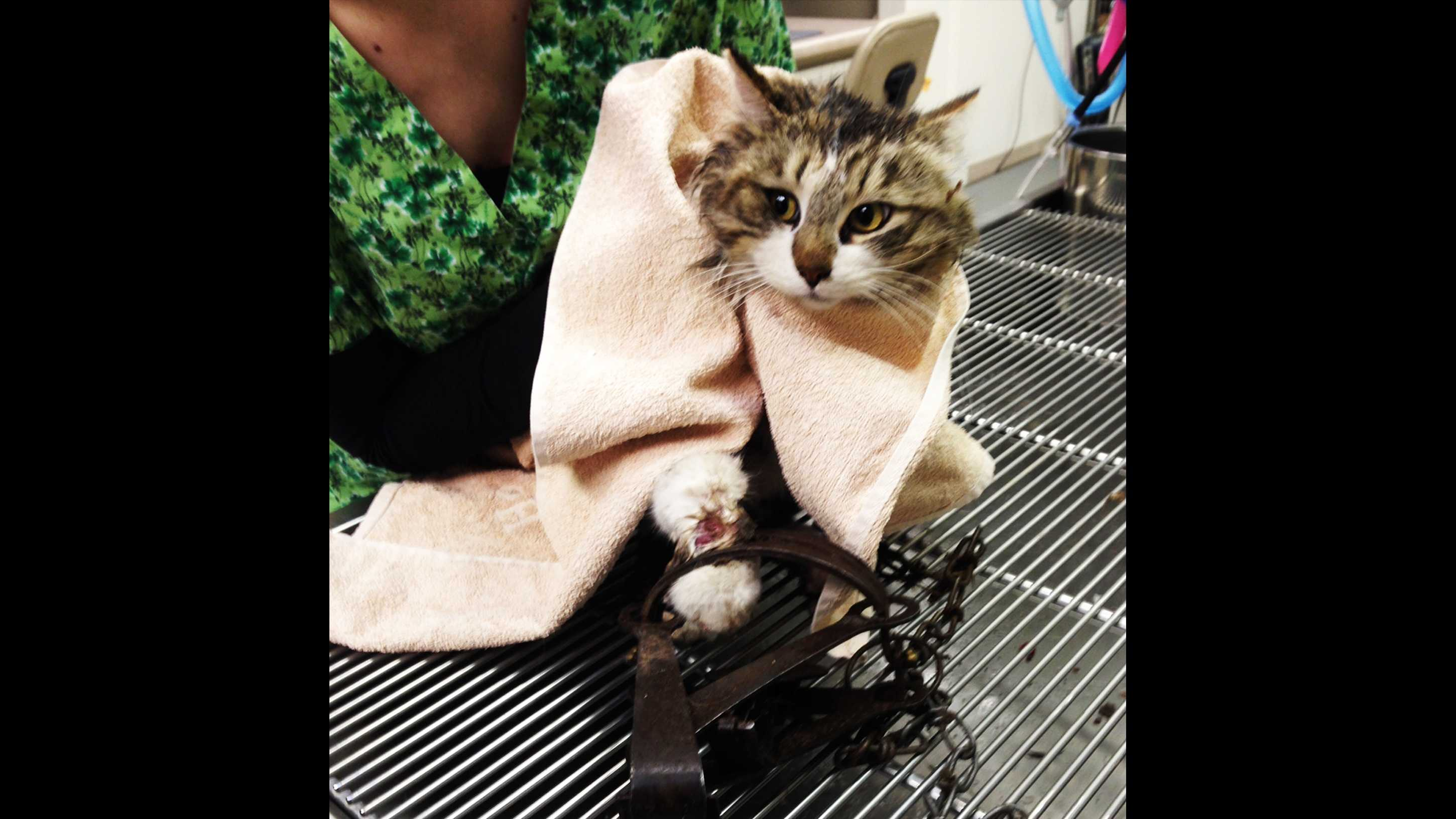 Scruffy the cat stepped in a bear trap in Royal Oaks.