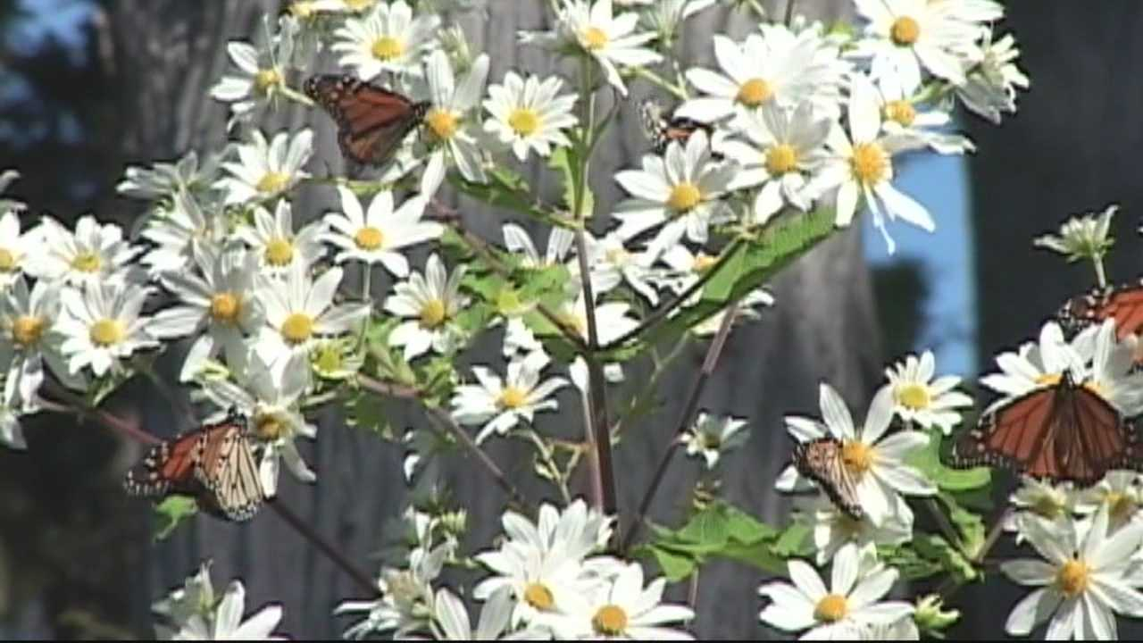 MONARCH BUTTERFLIES PKG